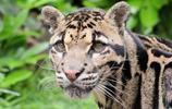 動物圖集:一級保護動物雲豹