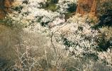 櫻桃花海節開幕,滿山谷的櫻桃花開成了海洋!也許會偶遇萌萌羊哦
