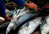 海南特別鍾愛的馬鮫魚