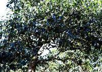 多少年的普洱茶樹才能叫老茶樹