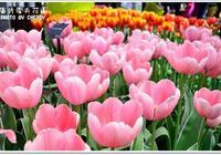 走進世界最大的鬱金香公園:庫肯霍夫公園