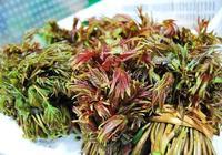 香椿的栽培好管理嗎 ?香椿怎麼育苗  完整實用高效香椿種植技術