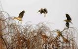 驚起一片夜鷺!大明湖的夜鷺歸巢