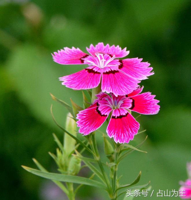 公園的花朵——石竹