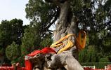 4000年柏樹有啥神奇?離地面40㎝枝葉沒人敢摸,1樹成景