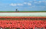一年一度的鬱金香又開啦,整個荷蘭已成鬱金香的海洋