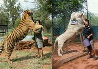 同體型的獅虎鬥,哪個勝一籌?