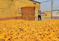 12月5日玉米市場:瞭解進口穀物成本,今冬明春賣糧不愁