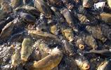 黑色生物入侵大湖造成災害,居民派出天敵進行捕殺