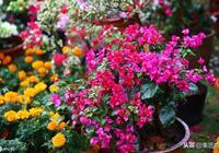 多色三角梅嫁接的2種方法:大切口砧木不腐,小苗育出五色花!