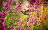 動物圖集:可愛的蜂鳥