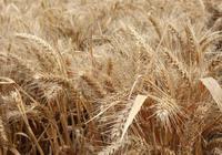 超級小麥畝產1948斤,創造小麥畝產新紀錄,你家小麥畝產多少