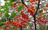 櫻桃季節話名動江湖的櫻桃