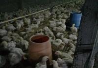 養雞管理之—大腸桿菌的防治