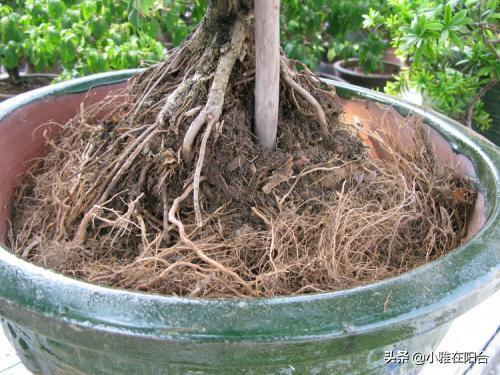 """盆土板結了,撒一把""""沙子"""",土變得疏鬆,不積水,花兒長得特旺"""