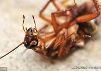 家中滅蟑螂小竅門,學會以後再也沒蟑螂
