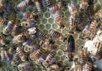新蜂王沒有雄蜂怎麼辦?