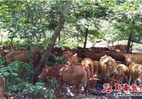 荔波縣2017年上半年畜牧業發展勢頭向好