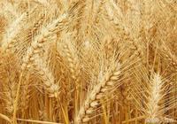 小麥市場收購積極 小麥價格上漲迅速 新小麥豐收已成定局