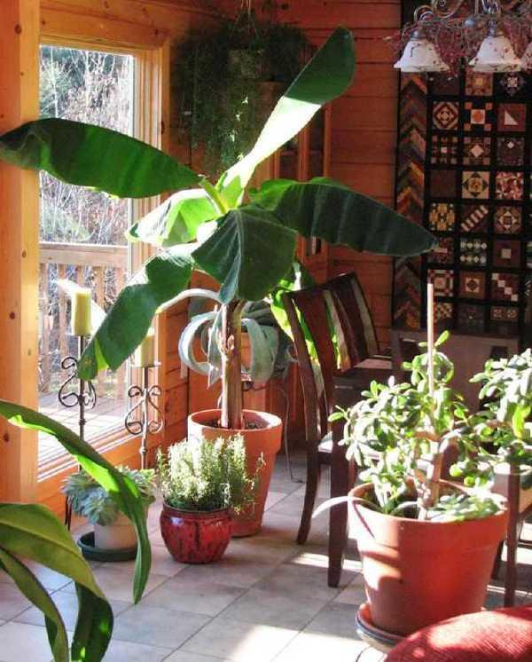 Бананы в домашних условиях выращивание 98