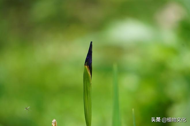 金脈鳶尾,來自西南山地的鳶尾