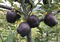 """我國最高產的""""樹苗"""",丟土裡就能活,院子種2棵,來年吃不完"""