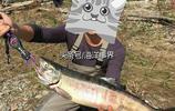 野外釣鮭魚,釣上來立馬就是殺魚取卵吃魚子醬