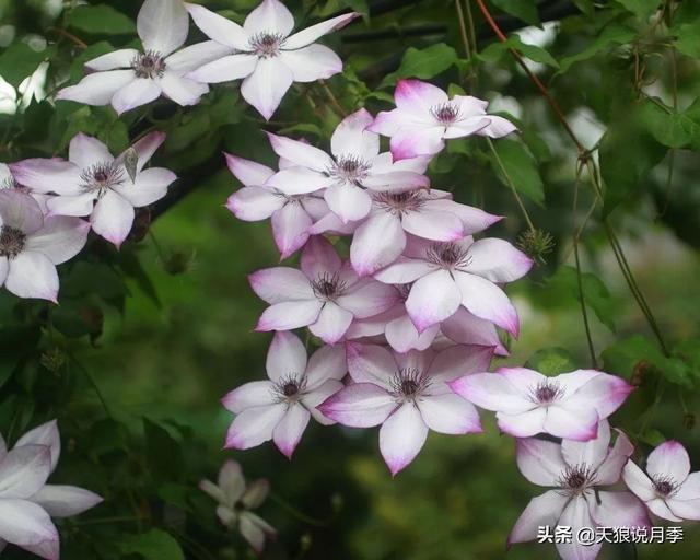 花園裡的天生絕配!適合和月季搭配的鐵線蓮品種大推薦