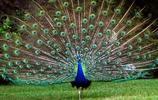 動物圖集:孔雀雉