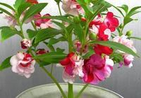 鳳仙花好養嗎?