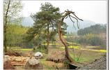 安慶大塘兩棵三百年馬尾松樹