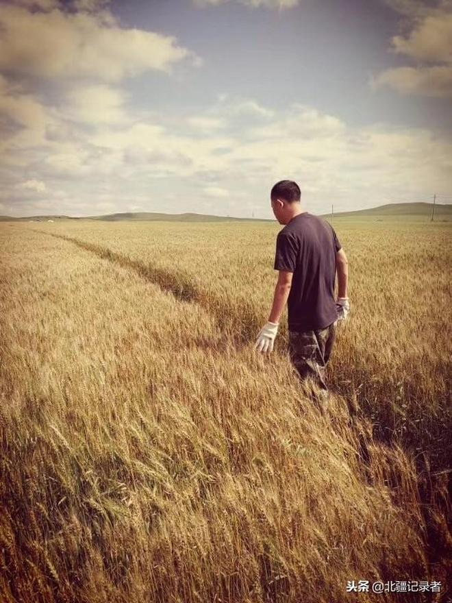 農村小夥兒種植黑小麥不走常規路,奮鬥10年擁有千畝麥田發家致富