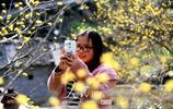 安徽歙縣:山茱萸花開金燦燦