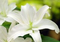 養百合花需要知道的一些種植方法,學會了你也可以在家自己養