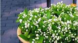 茉莉花葉子黃、花苞掉落?學了這幾招,葉綠花開朵朵香