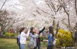 賞櫻花何必跑到日本,青島櫻花馬上盛放,這個公園每年賞櫻人爆滿