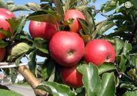什麼是脫毒蘋果苗?
