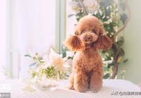 想要養好一隻泰迪犬,吃並不是最主要的!
