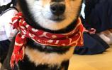 柴犬假日招待顧客,提供擼狗服務自己賺狗糧!