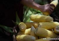李子柒自制玉米餅,看完製作過程後,網友:想吃了我還是去買吧!