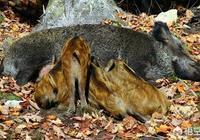 野豬和家養的豬可以進行雜交嗎?