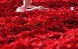 數十萬盆一品紅,在這裡颳起紅色旋風,讓你的視覺震撼