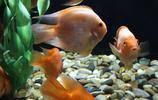 血鸚鵡俗稱紅財神養活很容易,來歷很奇特但不能正常繁殖後代