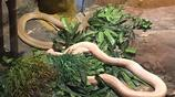 這家蛇藥公司養了數十種毒蛇 只有為遊客表演的時候才拿出來展示