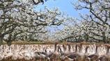 五一去哪?安徽碭山梨花節,萬畝梨花爭相盛開,進入童話的世界!