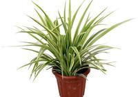 金邊蘭是名貴蘭花嗎?
