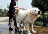 大白熊犬拉著小狗車,帶小狗狗遛彎,好溫馨