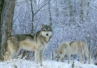 民間故事:狼乾孃和狼哥哥的故事
