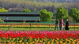 亞洲最大的鬱金香花園——鬱金香花盛開啦