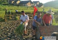 邵陽縣:雙季稻搶農時活動 黨員群眾齊上陣